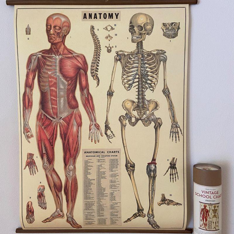 Rullekort, vintage, anatomi 1